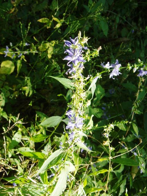 Purple_flower_2